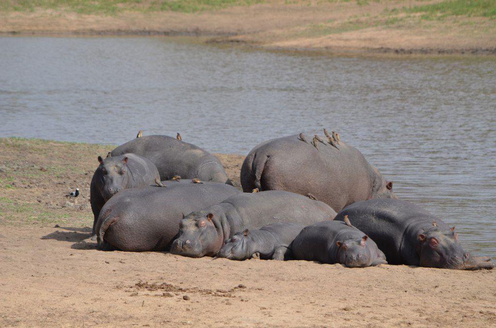 Outro – Hippos
