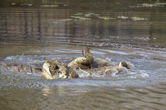 Croc food fight